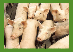 piggies usda
